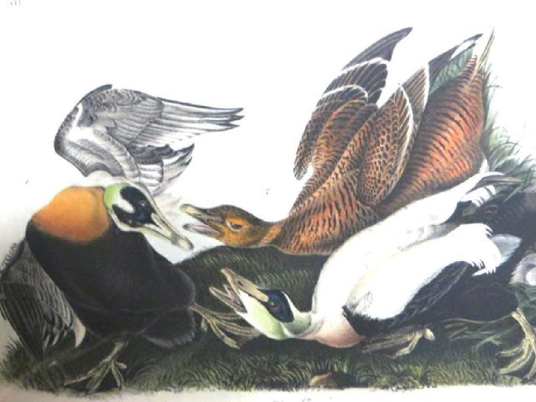 J.J. Audubon. Octavo. Eider Duck No.405