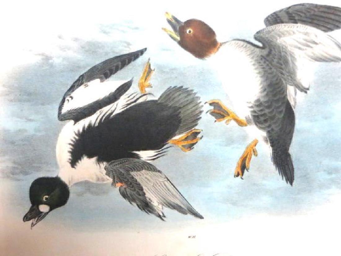 J.J. Audubon. Octavo. Golden Eye Duck No.406