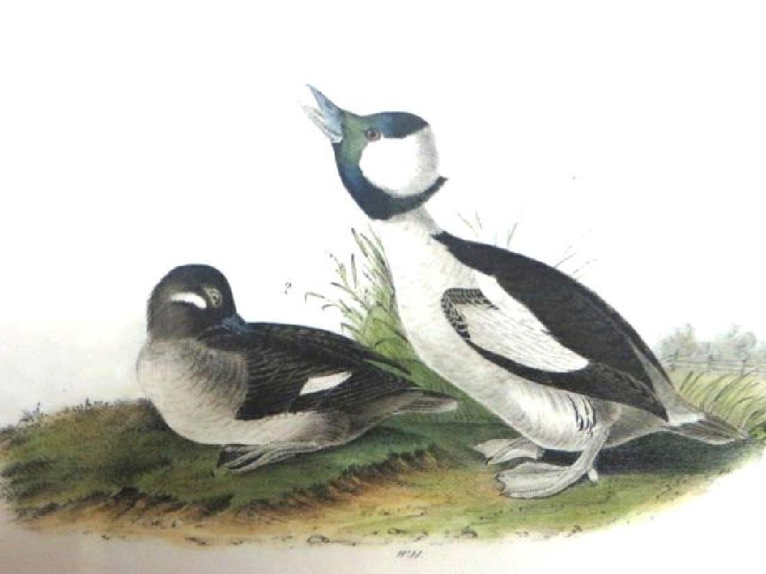 J.J. Audubon. Octavo. Buffed-Headed Duck No.408