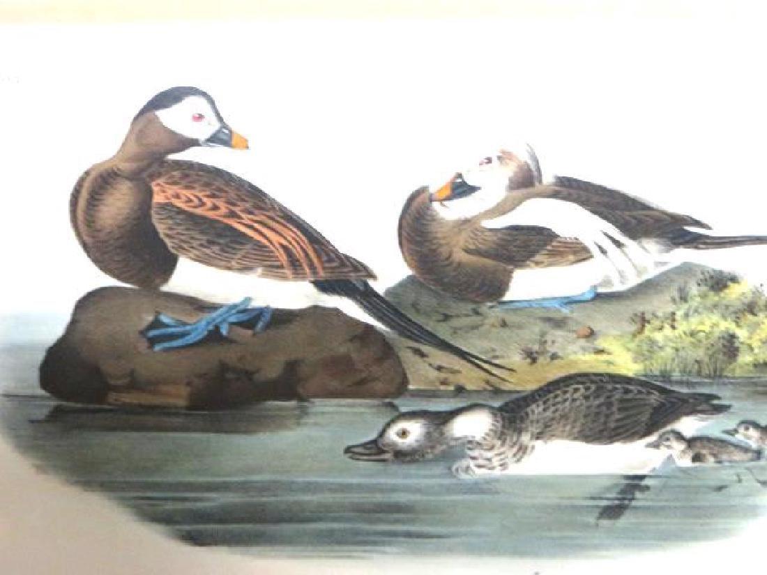 J.J. Audubon. Octavo. Long Tailed Duck No.410