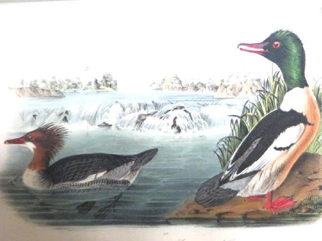 J.J. Audubon. Octavo. Ruf Breasted Merganser Goosander
