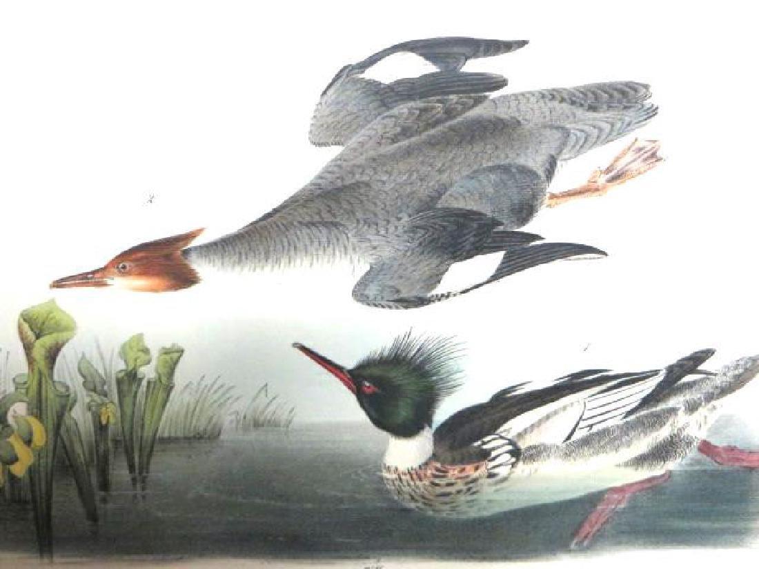 J.J. Audubon. Octavo. Red Breasted Merganser No.412