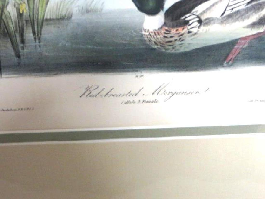 J.J. Audubon. Octavo. Red Breasted Merganser No.412 - 2