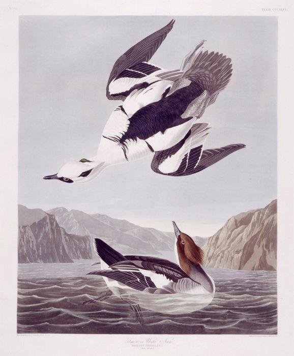 J.J. Audubon. Octavo. White Merganser, Smew, White Nun