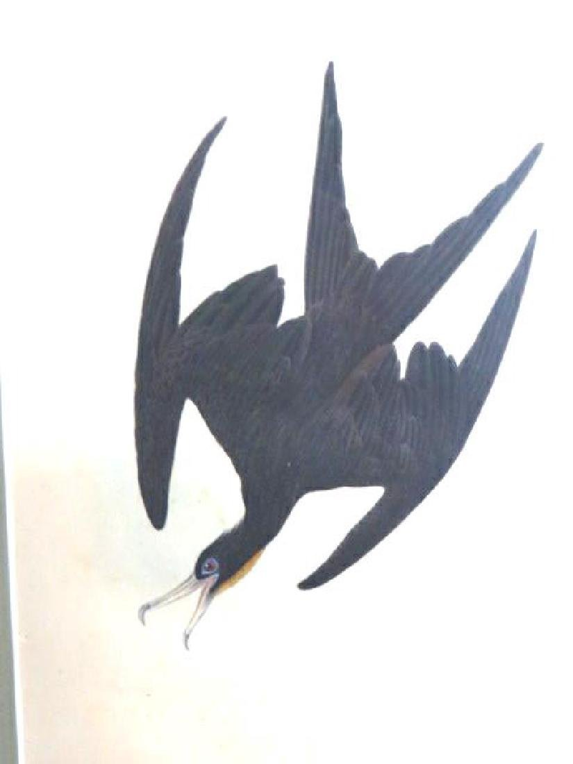 J.J. Audubon. Octavo. Frigate Pelican Man of War Bird