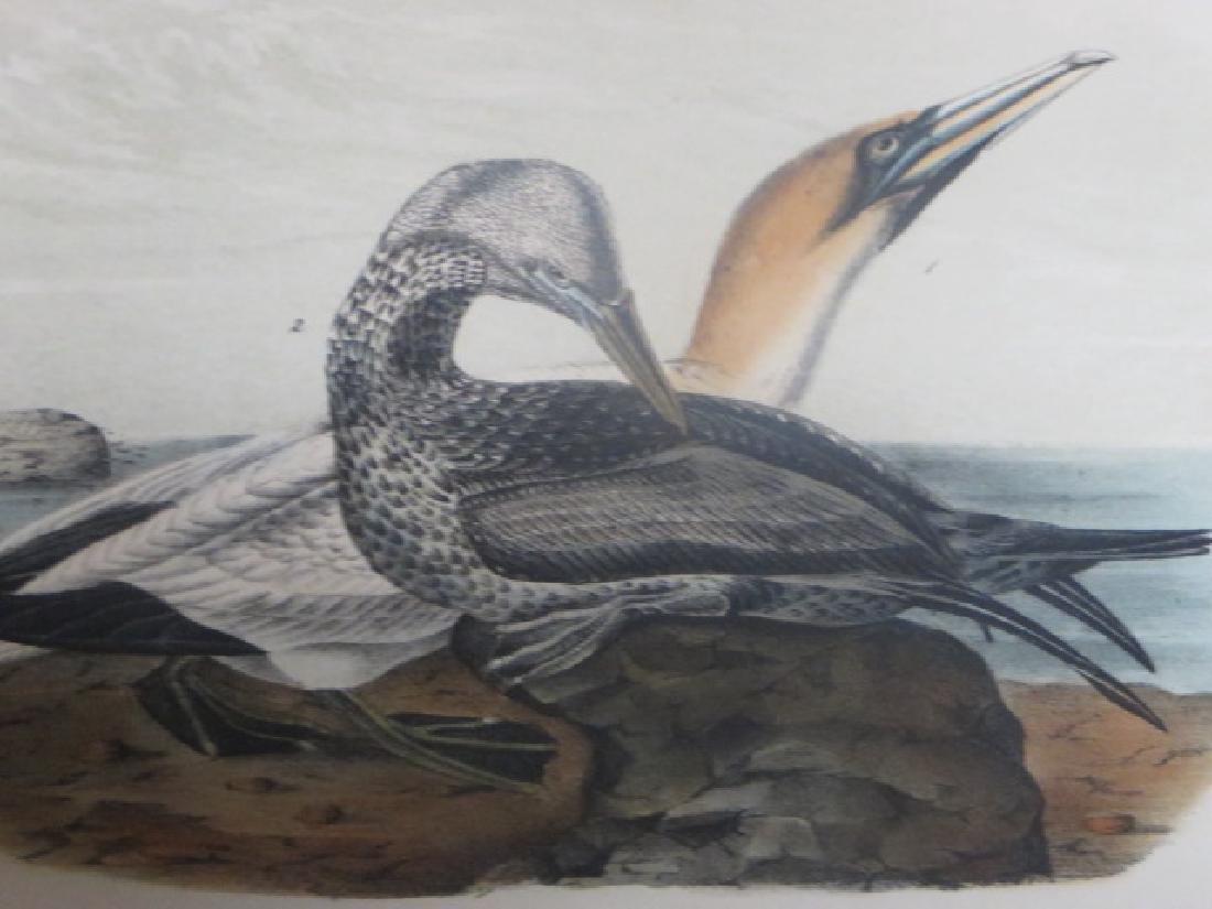 J.J. Audubon. Octavo. Common Gannet No.425