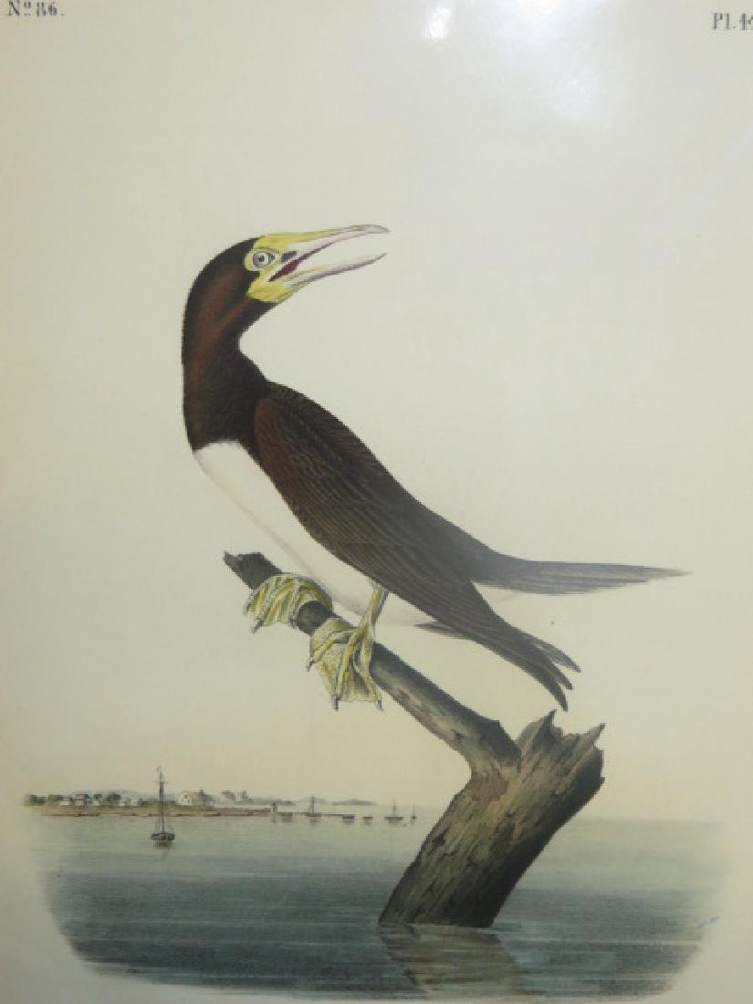 J.J. Audubon. Octavo. Booby Gannet No.426