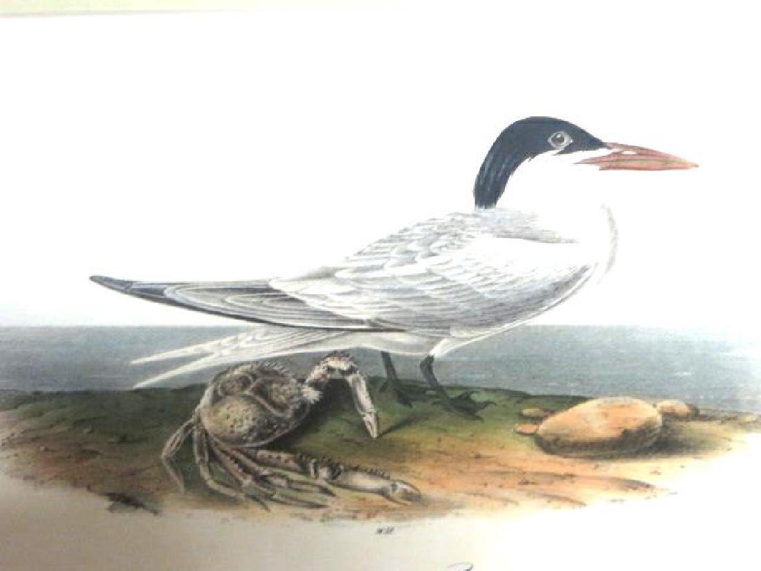 J.J. Audubon. Octavo. Cayenne Tern No.429