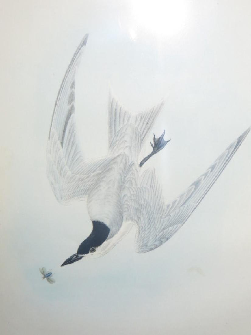 J.J. Audubon. Octavo. Gull Billed Tern-Marsh Tern