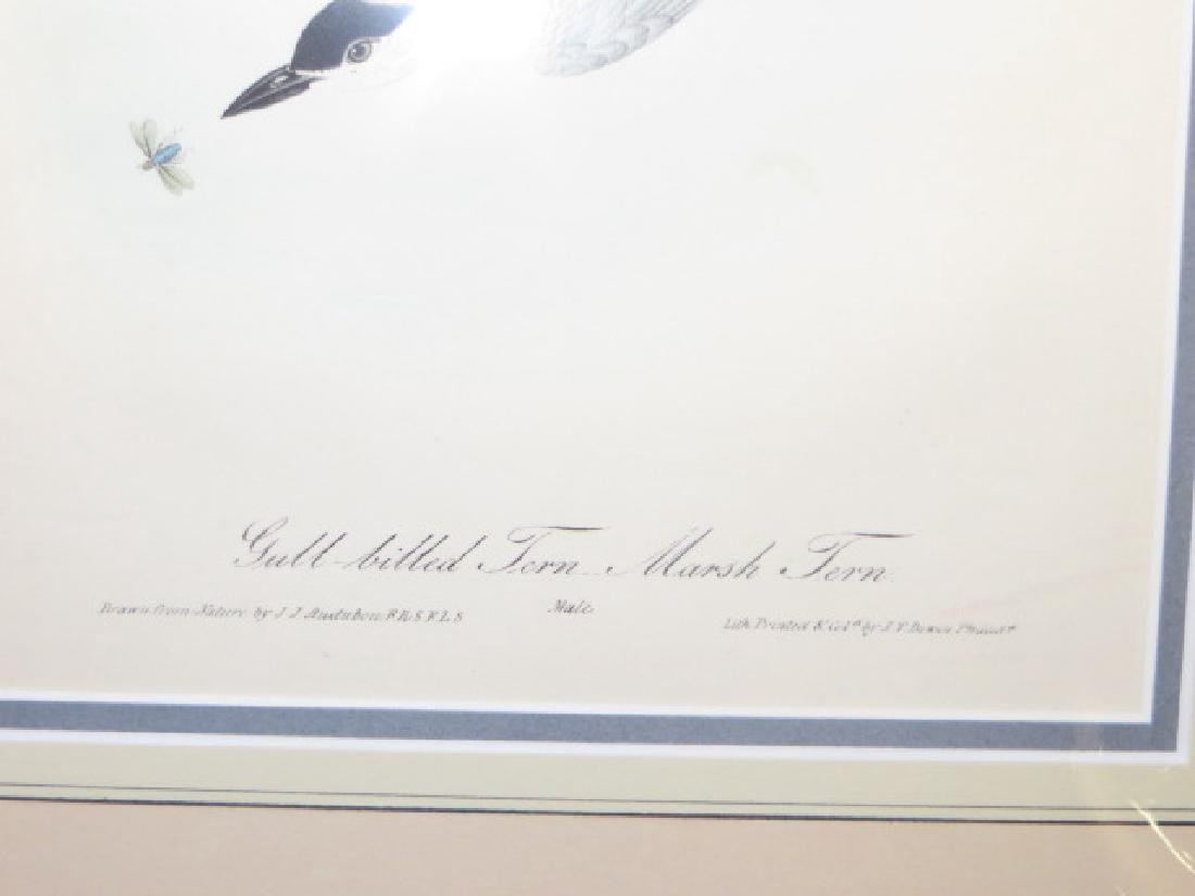 J.J. Audubon. Octavo. Gull Billed Tern-Marsh Tern - 2