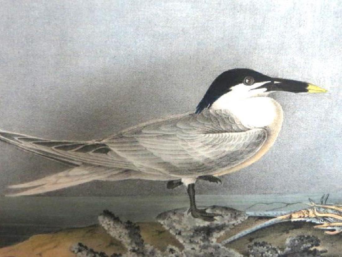 J.J. Audubon. Octavo. Sandwich Tern No.431
