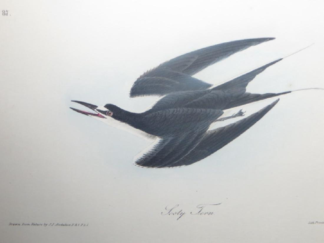 J.J. Audubon. Octavo. Sooty Tern No.432