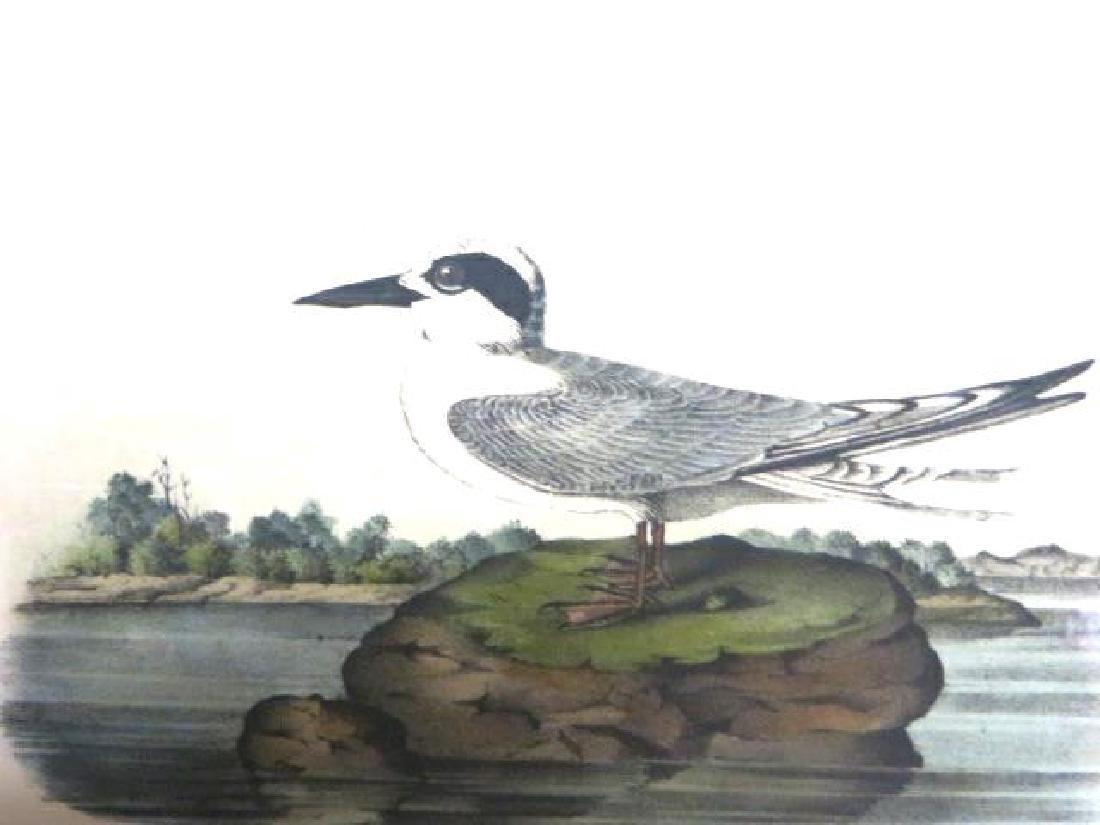 J.J. Audubon. Octavo. Havells Tern No.434