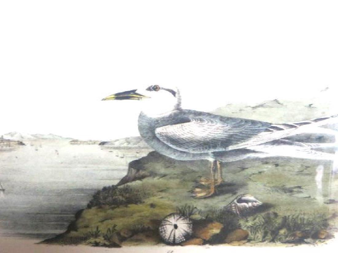 J.J. Audubon. Octavo. Trudeaus Tern No.435