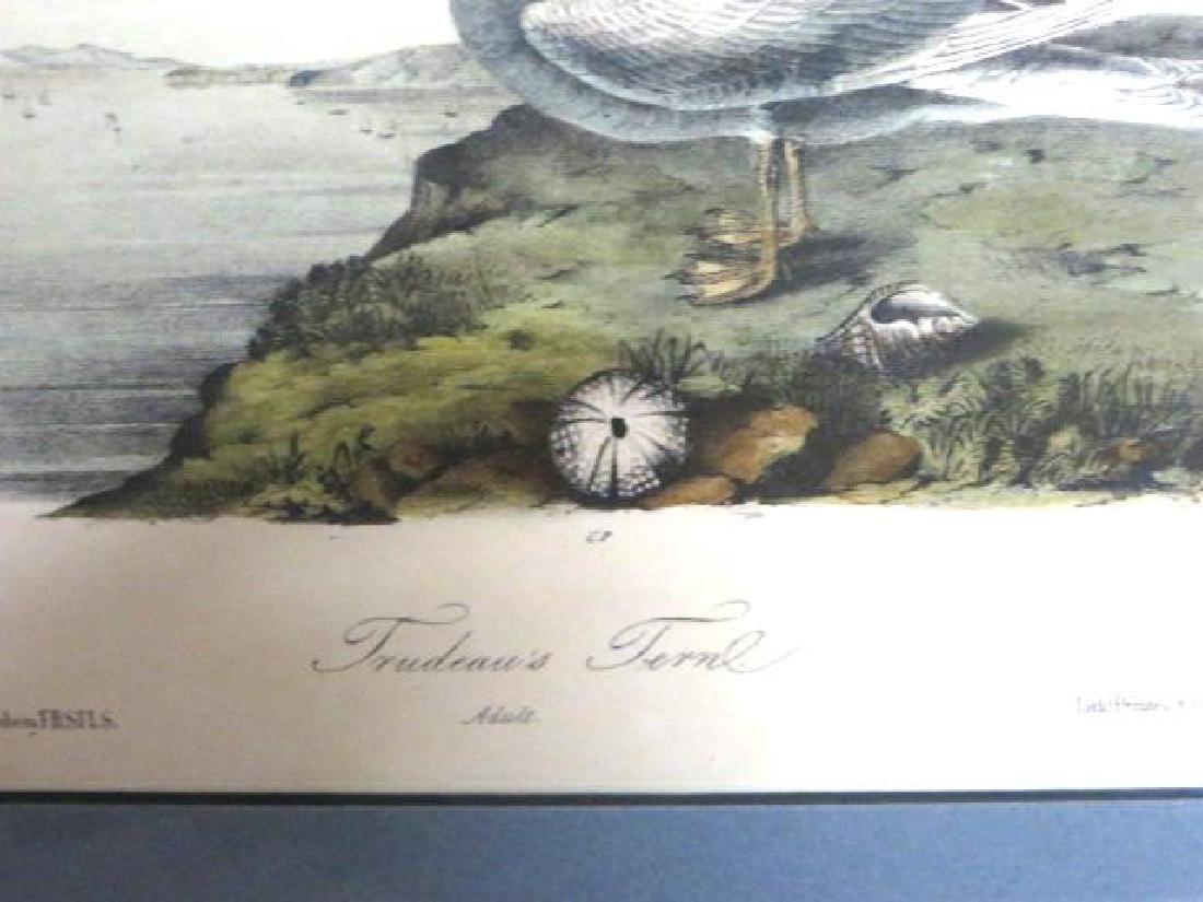 J.J. Audubon. Octavo. Trudeaus Tern No.435 - 2
