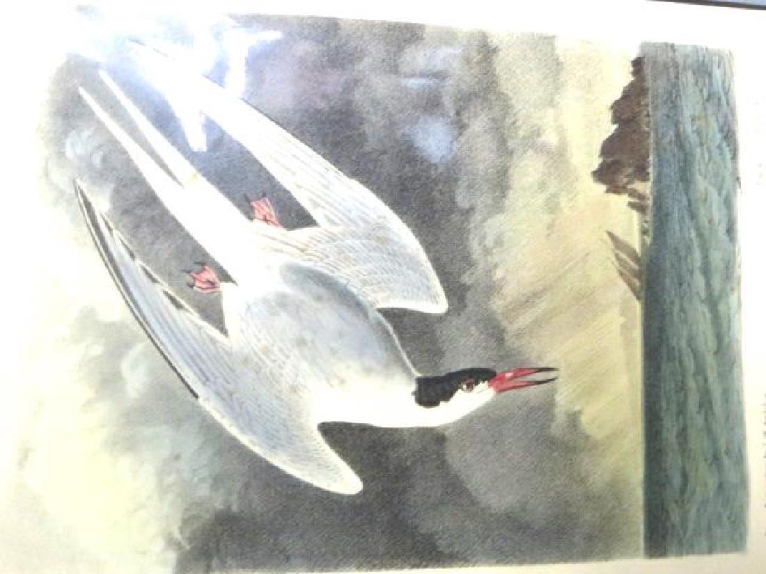 J.J. Audubon. Octavo. Arctic Tern No.436
