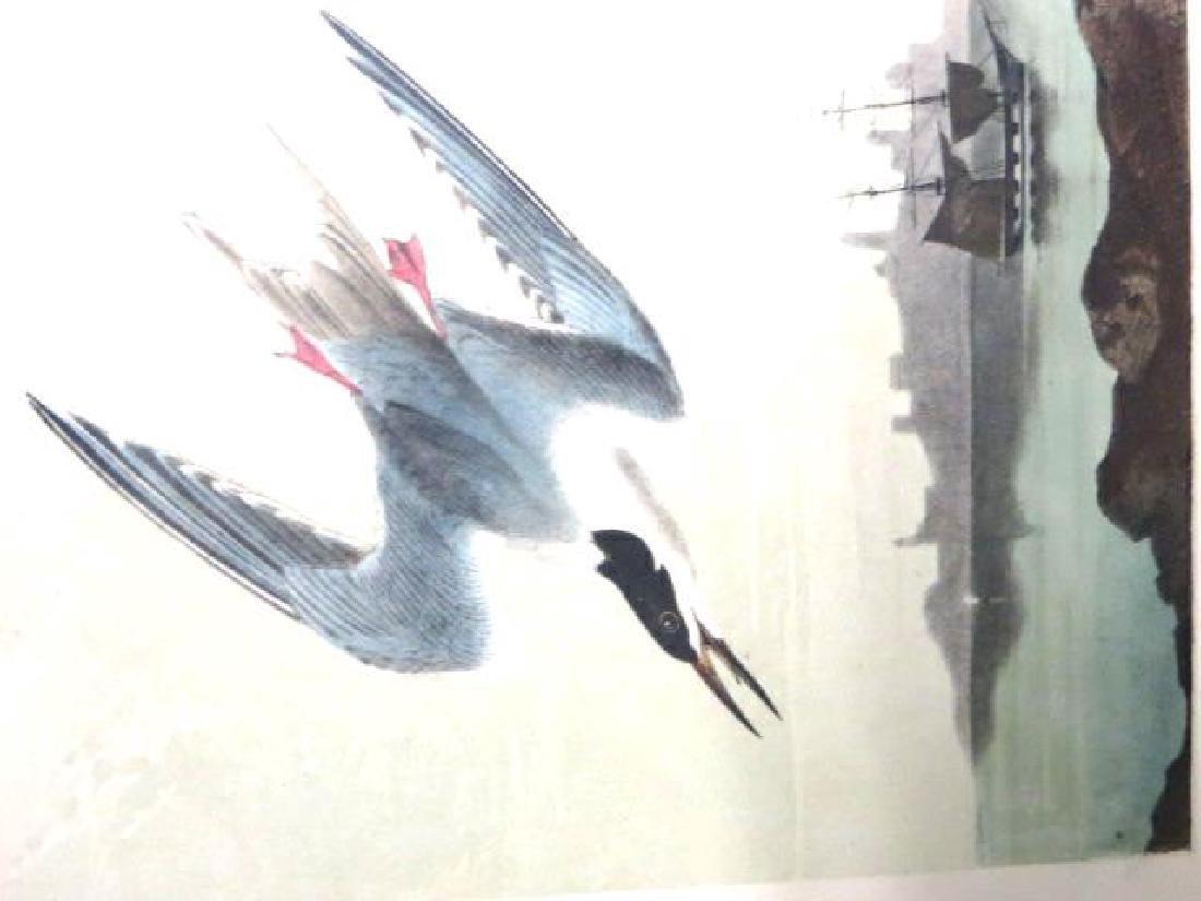 J.J. Audubon. Octavo. Roseate Tern No.437
