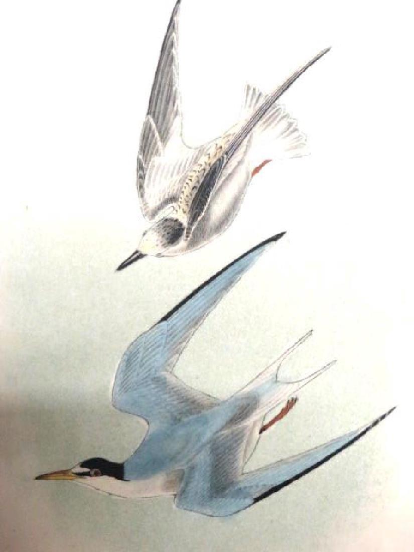 J.J. Audubon. Octavo. Least Tern No.439