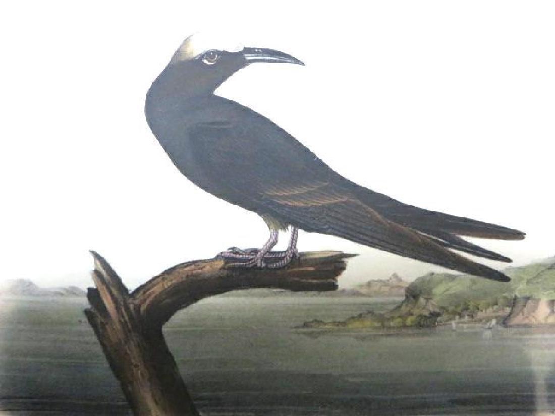 J.J. Audubon. Octavo. Noddy Tern No.440