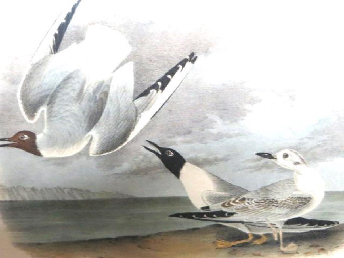 J.J. Audubon. Octavo. Bonapartes Gull No.442