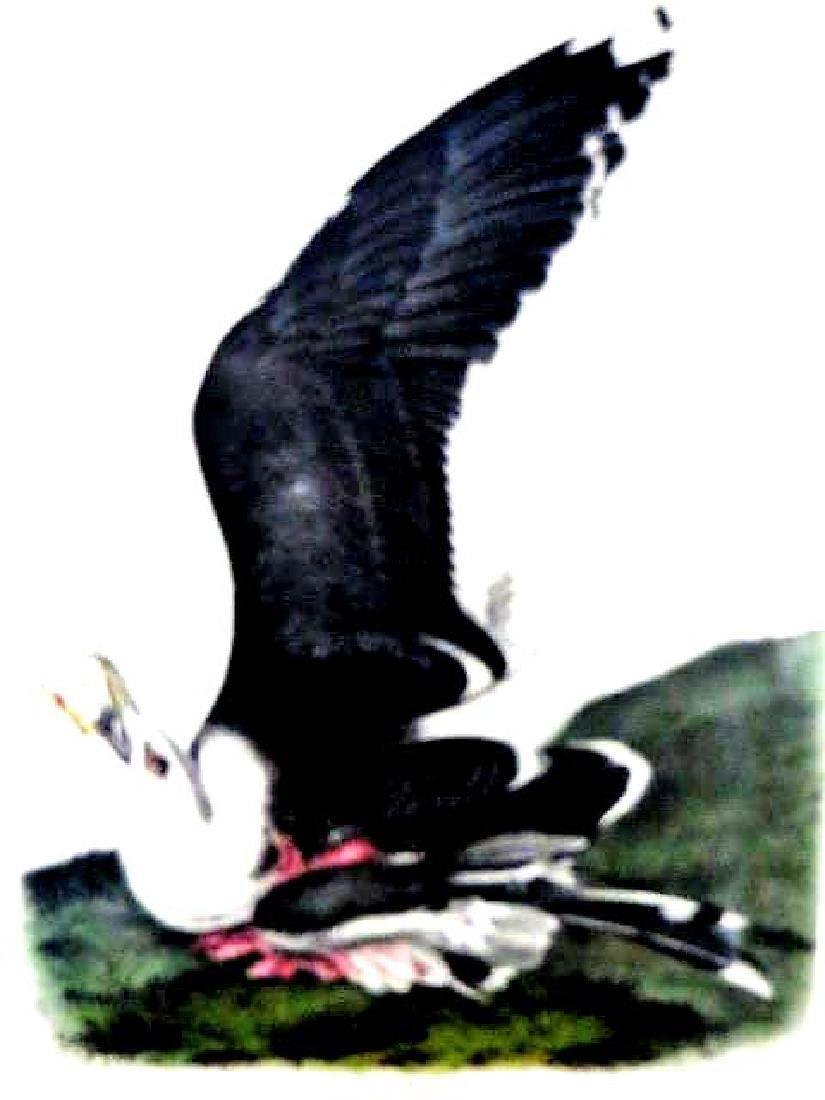J.J. Audubon. Octavo. Great Black Backed Gull No.450