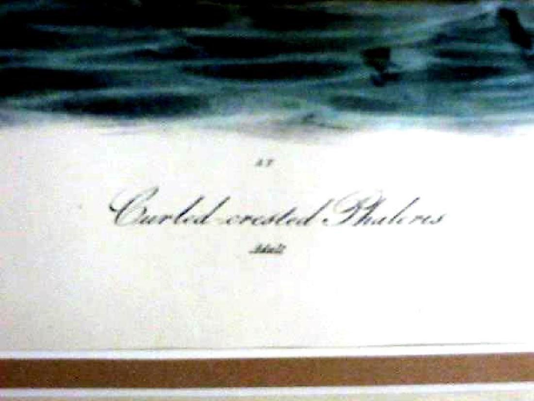 J.J. Audubon. Octavo. Curled Crested Phaleris No.467 - 2