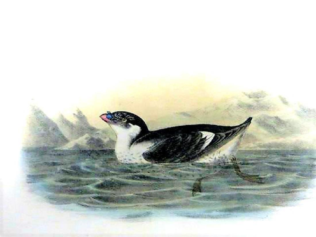 J.J. Audubon. Octavo. Knobbed-Billed Phaleris No.468
