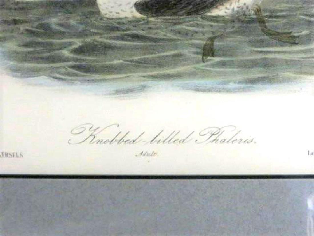 J.J. Audubon. Octavo. Knobbed-Billed Phaleris No.468 - 2