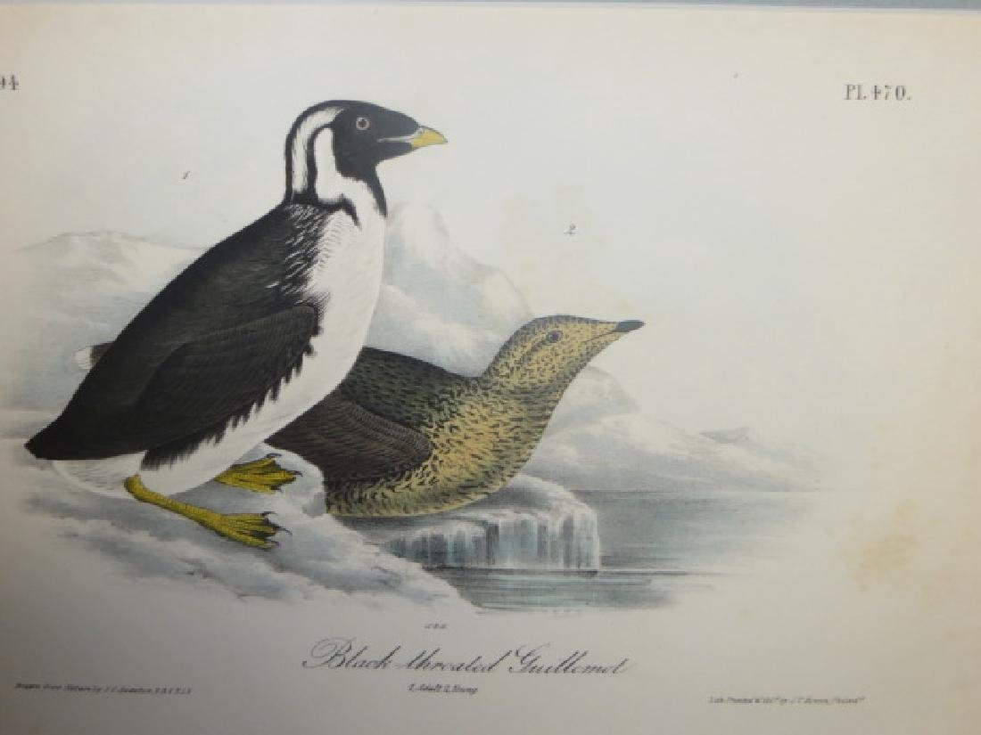 J.J. Audubon. Octavo. Black- Throated Guillemot No.470