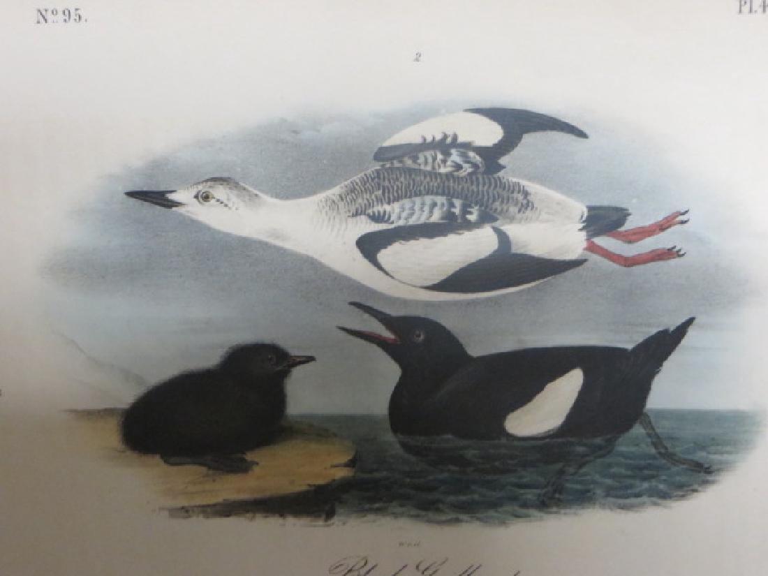 J.J. Audubon. Octavo. Black Guillemot No.474