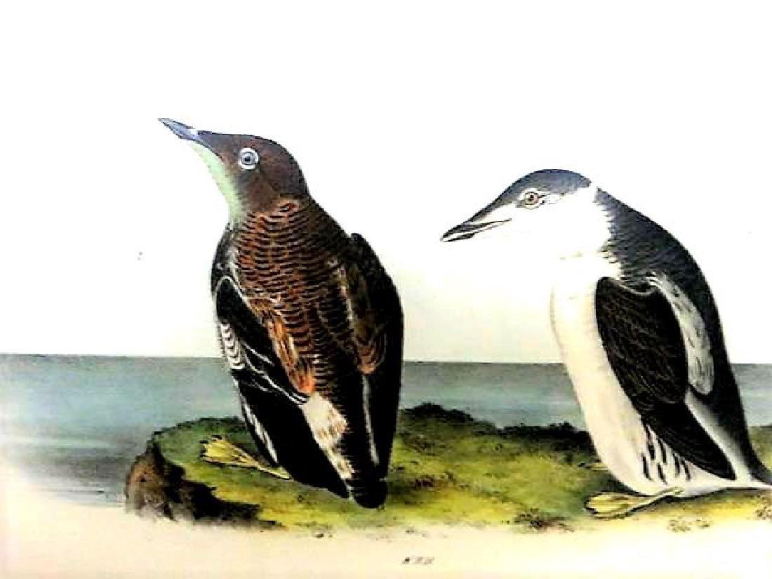 J.J. Audubon. Octavo. Slender Billed Guilemot No.475