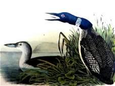J.J. Audubon. Octavo. Great North Diver Loon No.476