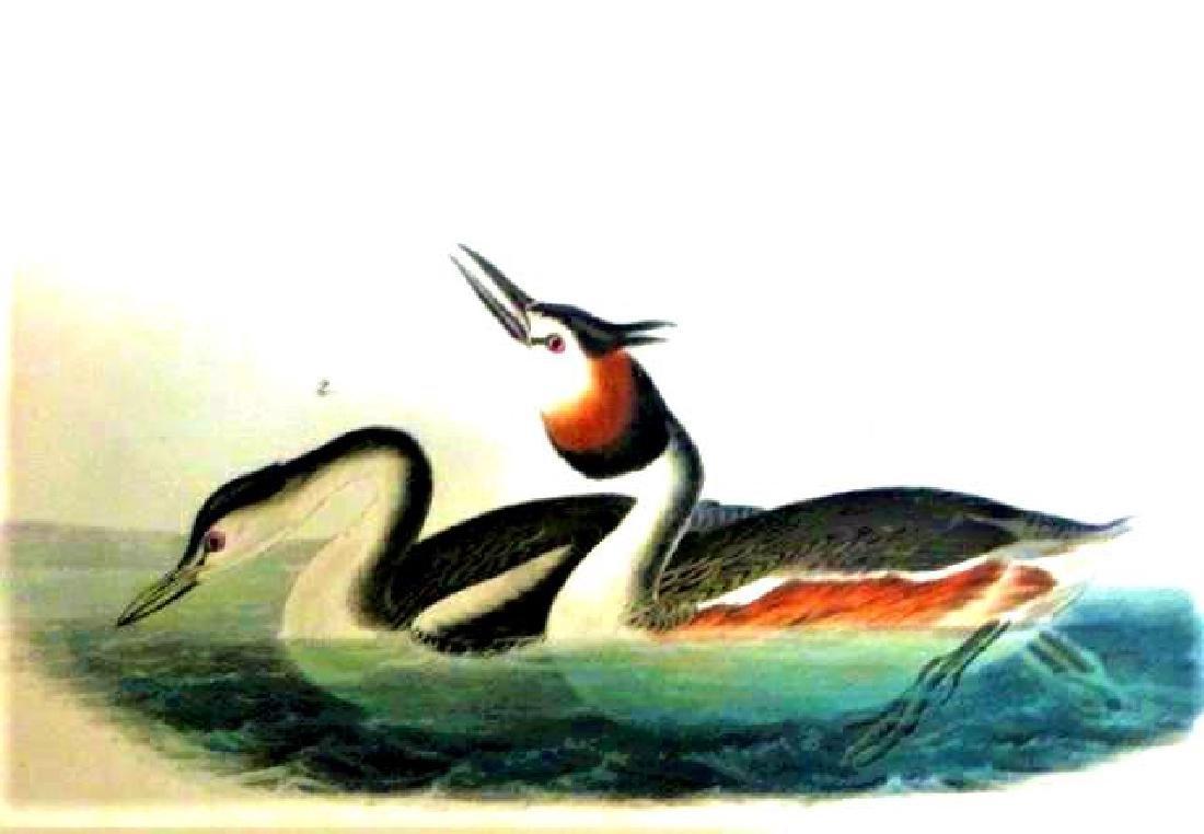 J.J. Audubon. Octavo. Crested Grebe No.479