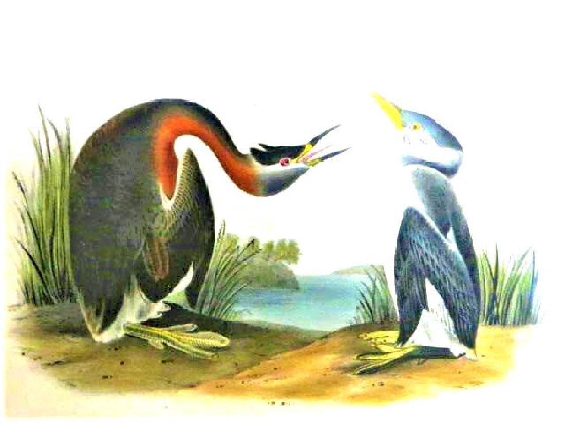 J.J. Audubon. Octavo. Red Necked Grebe No.480