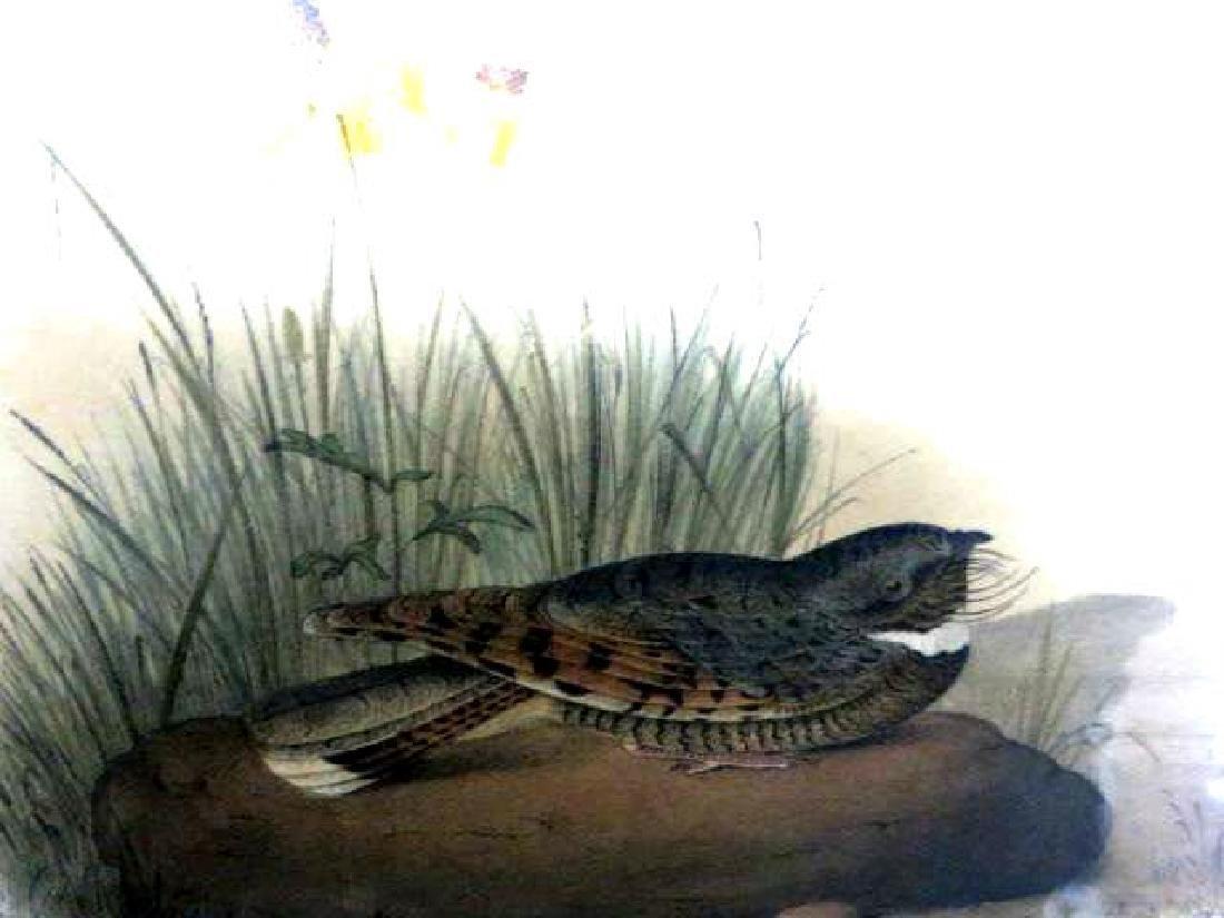 J.J. Audubon. Octavo. Nuttaill's Whip-Poor-Will No.495