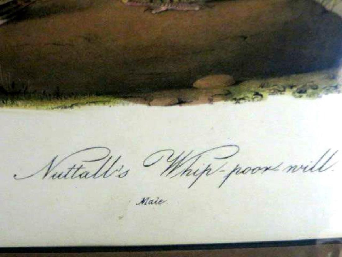 J.J. Audubon. Octavo. Nuttaill's Whip-Poor-Will No.495 - 2