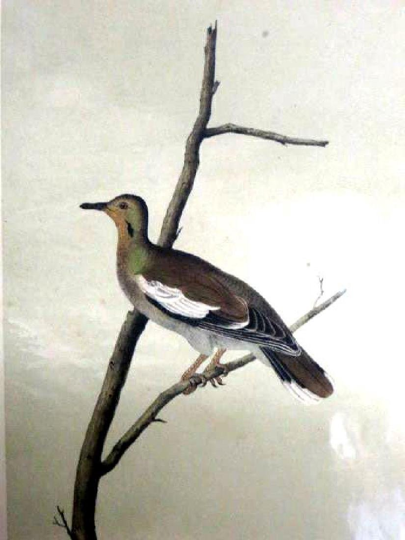 J.J. Audubon. Octavo. Texan Turtle Dove No.496