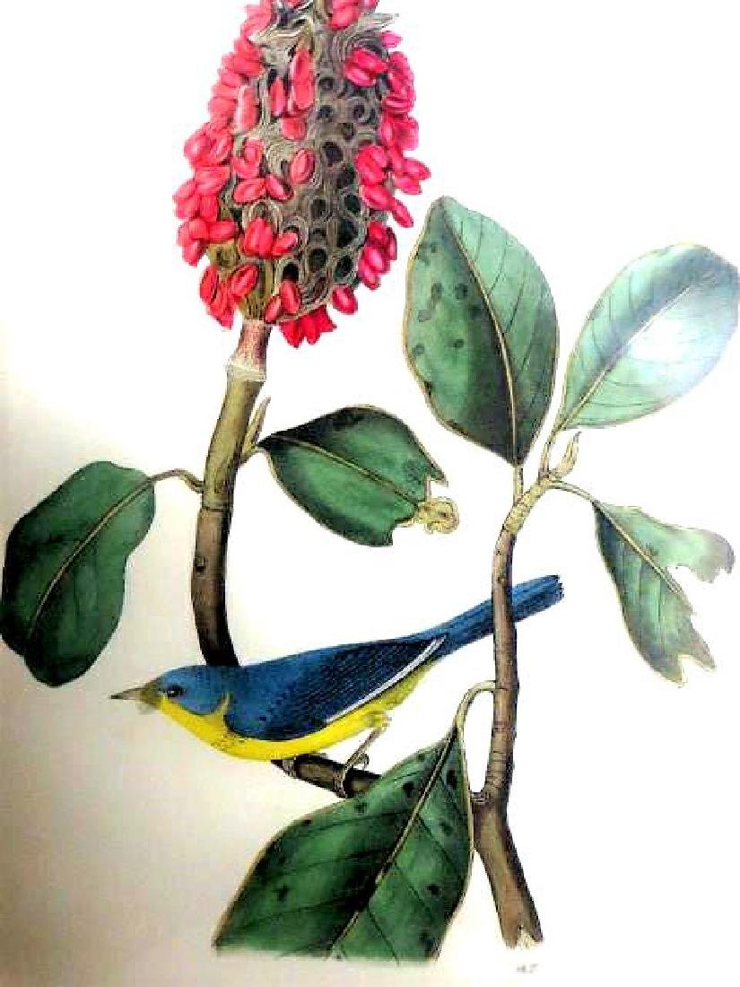 J.J. Audubon. Octavo. Bonaparte's Flycatching Warbler