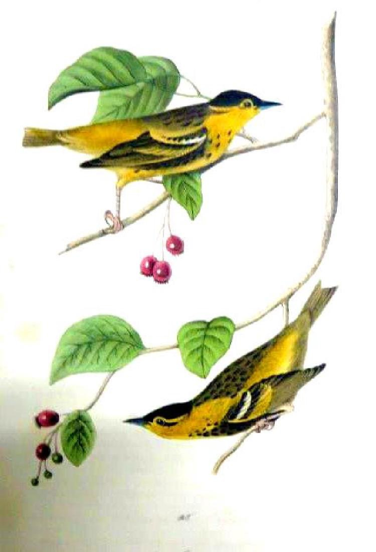 J.J. Audubon. Octavo. Carbonated Swamp Warbler No.109