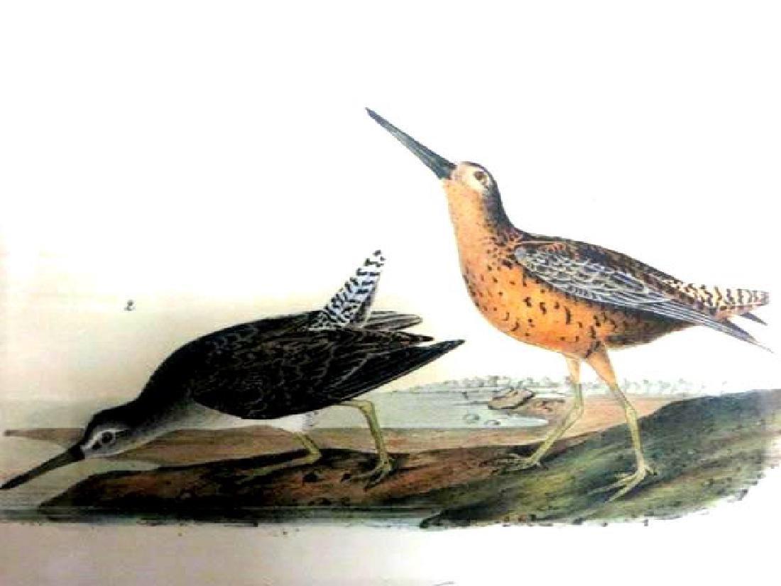 J.J. Audubon. Octavo. Red Breasted Snipe No.351