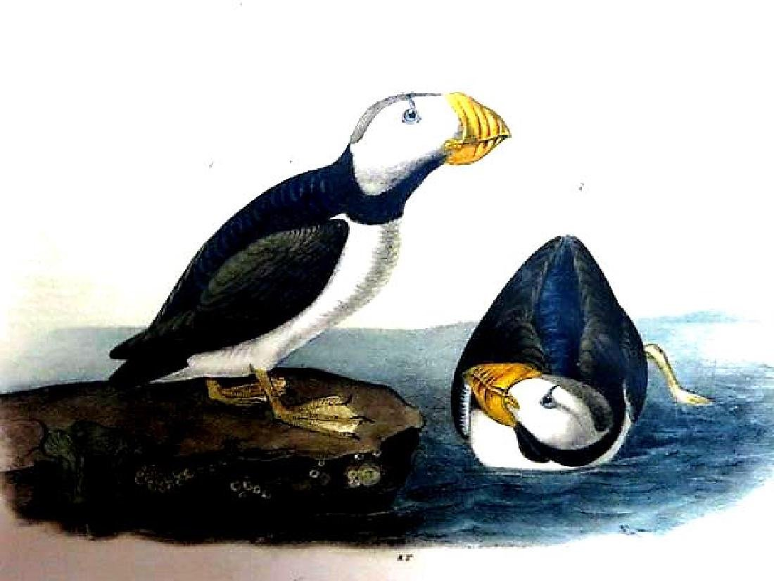 J.J. Audubon. Octavo. Large Billed Puffin No.463