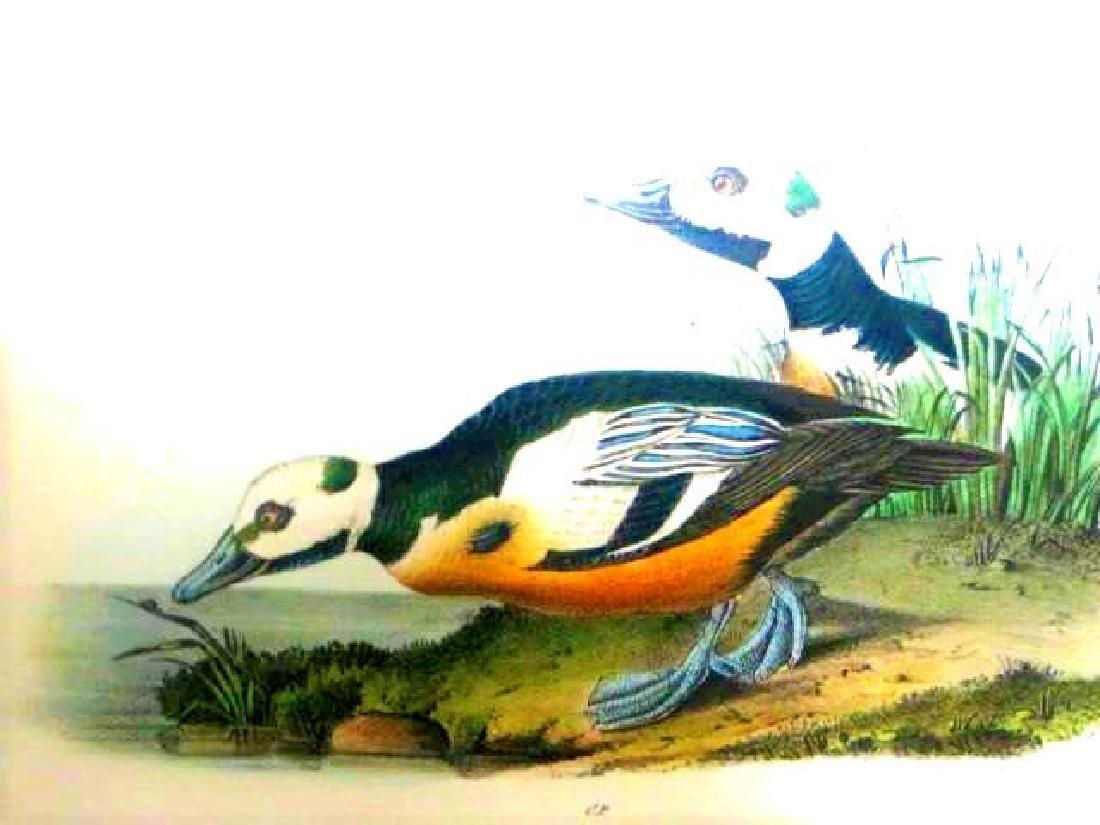 J.J. Audubon. Octavo. Western Shore Duck No.407