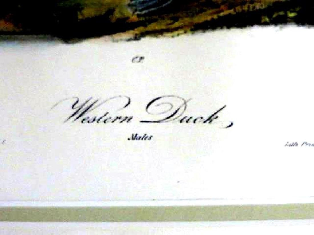 J.J. Audubon. Octavo. Western Shore Duck No.407 - 2