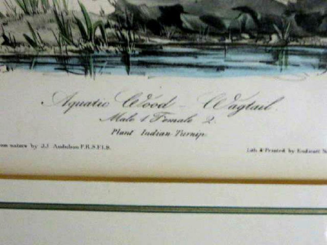 J.J. Audubon. Octavo. Aquatic Wood Wagtail No.149 - 2