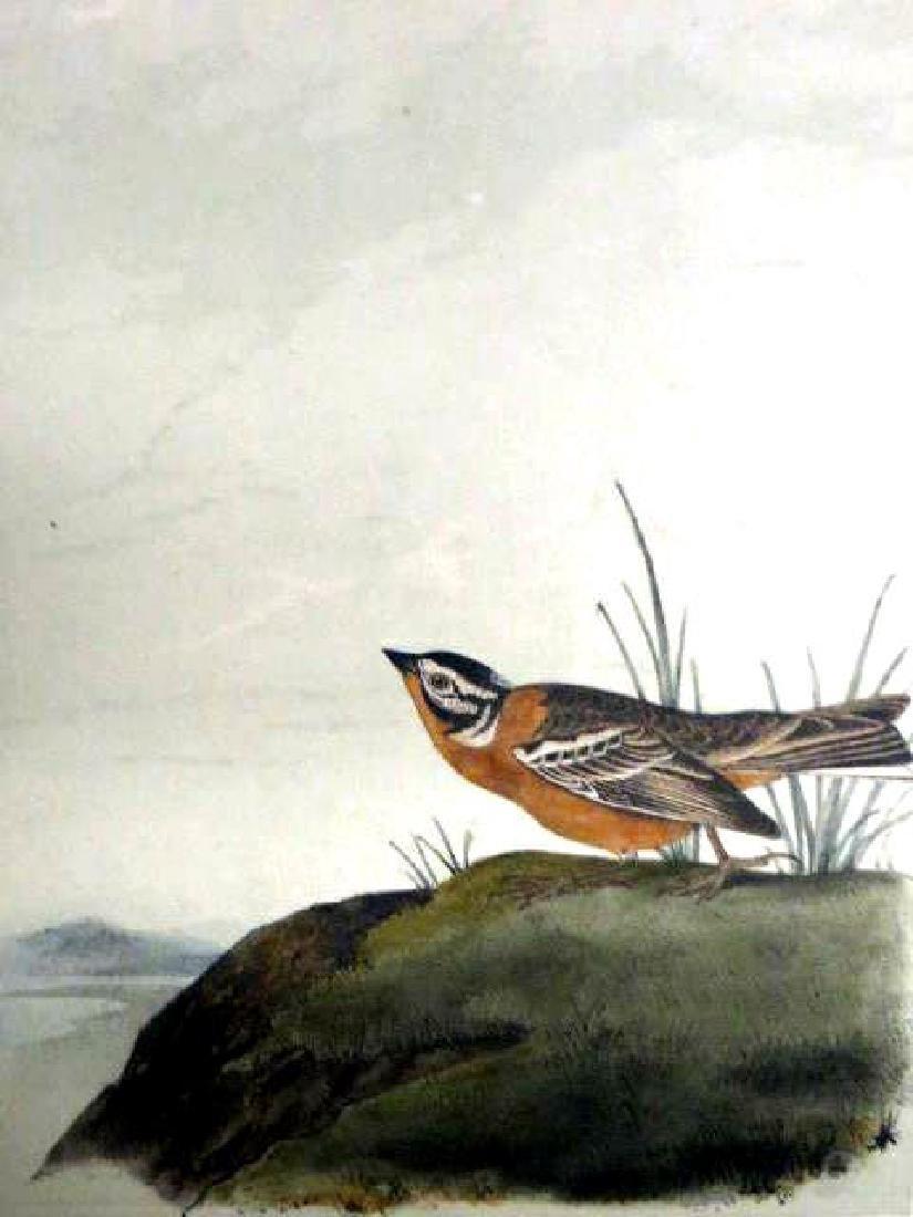 J.J. Audubon. Octavo. Painted Lark Bunting No.153