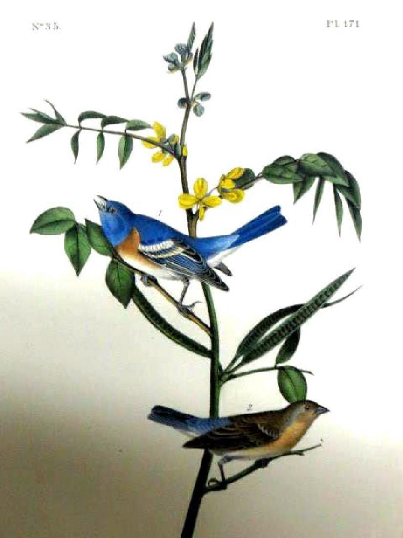 J.J. Audubon. Octavo. Lazuli Finch No.171