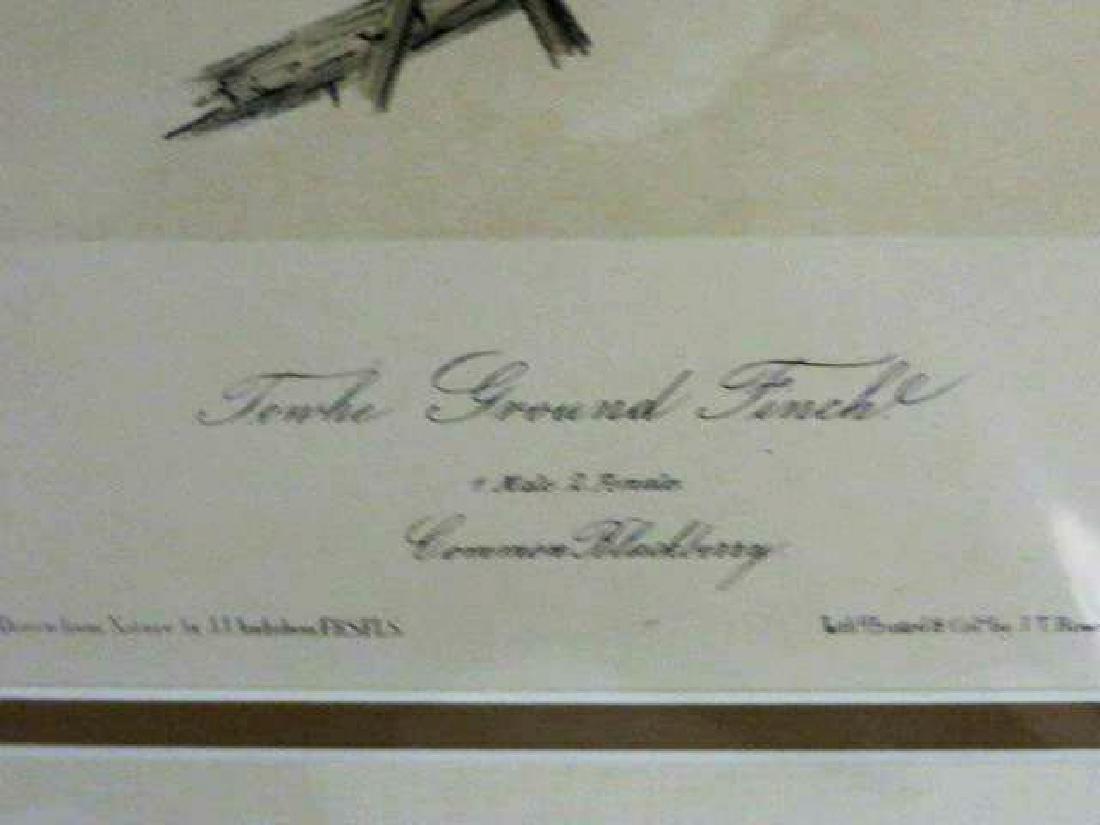 J.J. Audubon. Octavo. Towhe Ground Finch No.195 - 2