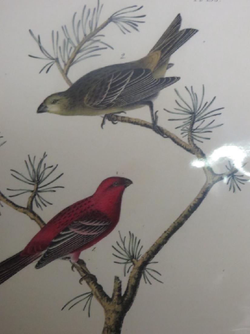 J.J. Audubon. Octavo. Common Pine-Finch No.199