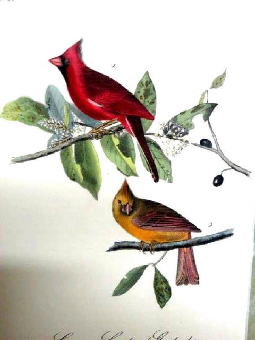 J.J. Audubon. Octavo. Common Cardinal Grosbeak No.203