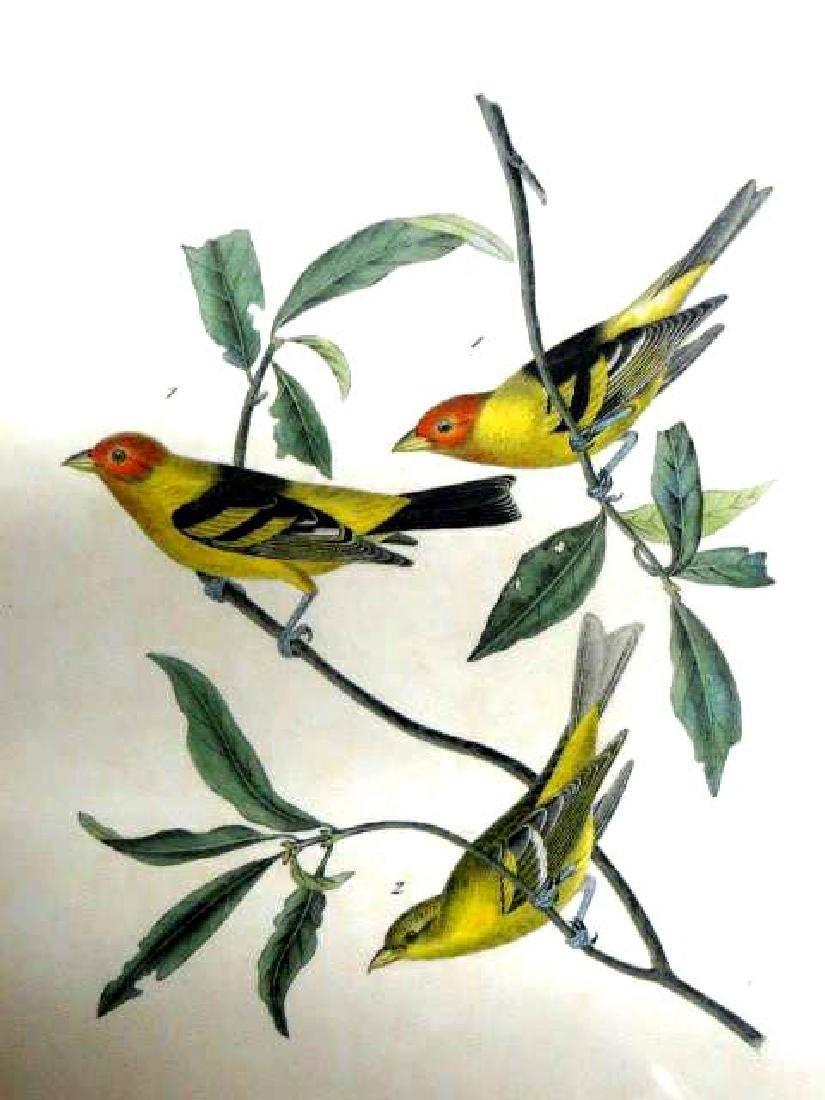 J.J. Audubon. Octavo. Louisiana Tanager No.210